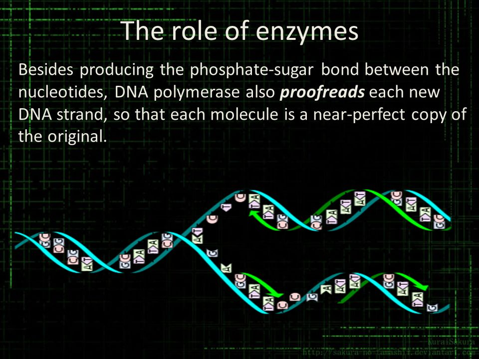 The role of enzymes Besides producing the phosphate-sugar bond between the nucleotides, DNA polymerase also proofreads each new DNA strand, so that ea