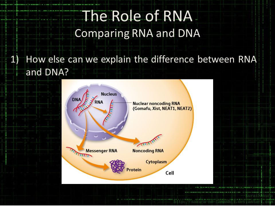 The Role of RNA Comparing RNA and DNA 1)How else can we explain the difference between RNA and DNA?