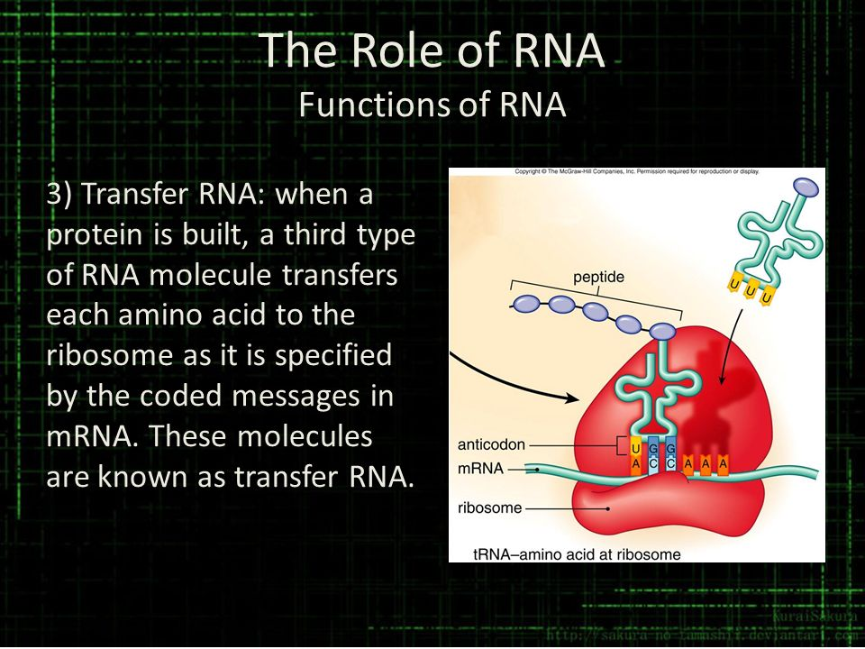 The Role of RNA Functions of RNA 3) Transfer RNA: when a protein is built, a third type of RNA molecule transfers each amino acid to the ribosome as i