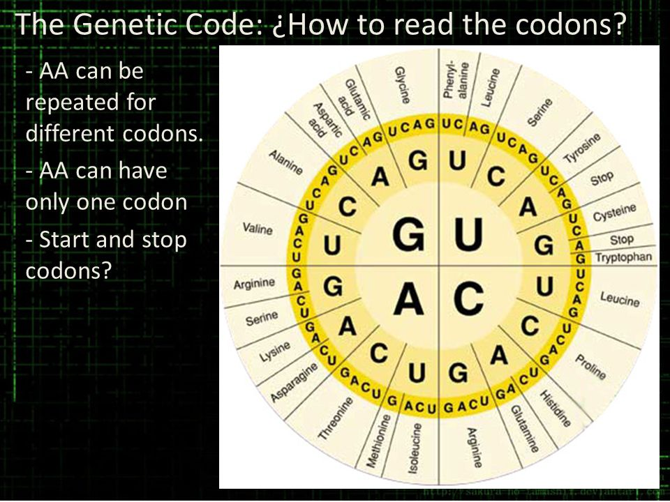 The Genetic Code: ¿How to read the codons? - AA can be repeated for different codons. - AA can have only one codon - Start and stop codons?