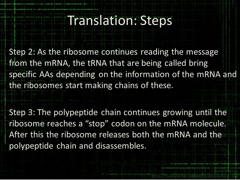 Translation: Steps Step 2: As the ribosome continues reading the message from the mRNA, the tRNA that are being called bring specific AAs depending on