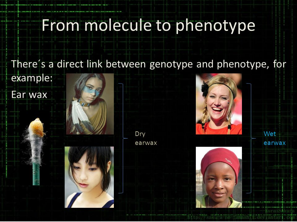 From molecule to phenotype There´s a direct link between genotype and phenotype, for example: Ear wax Wet earwax Dry earwax