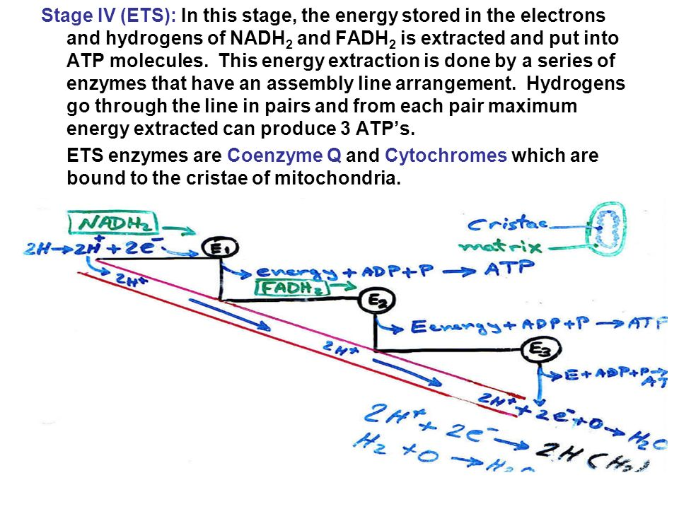 The energy from each electron pair entering the chain at the very top produces three ATPs.