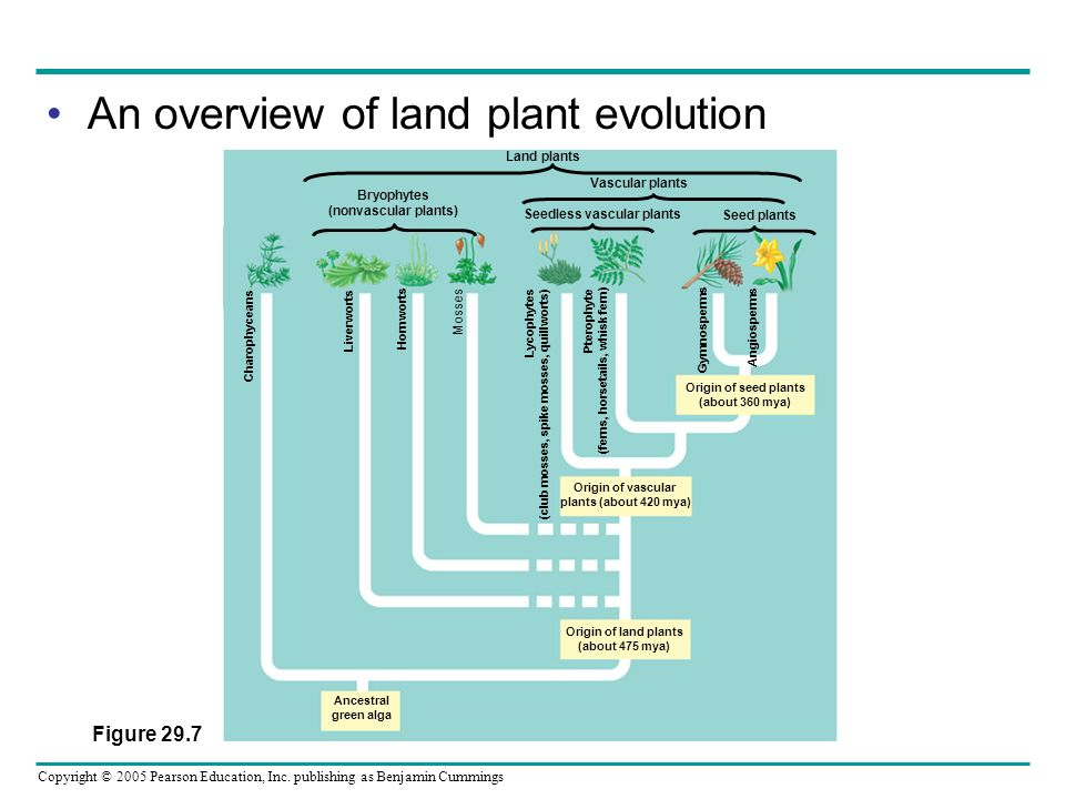Copyright © 2005 Pearson Education, Inc. publishing as Benjamin Cummings An overview of land plant evolution Bryophytes (nonvascular plants) Seedless