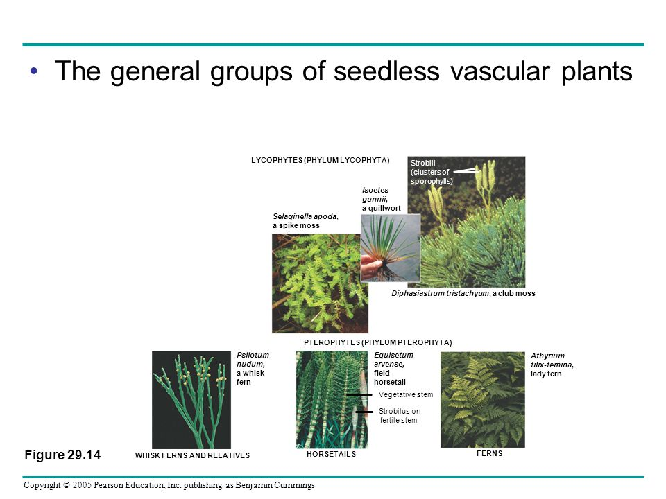 Copyright © 2005 Pearson Education, Inc. publishing as Benjamin Cummings The general groups of seedless vascular plants LYCOPHYTES (PHYLUM LYCOPHYTA)
