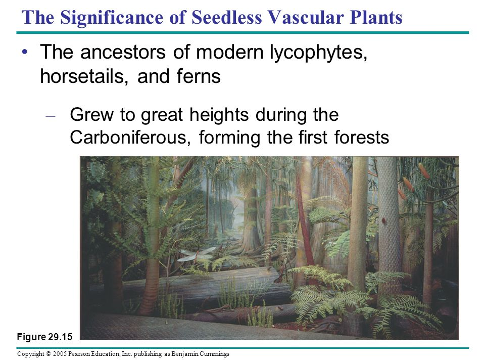 Copyright © 2005 Pearson Education, Inc. publishing as Benjamin Cummings The Significance of Seedless Vascular Plants The ancestors of modern lycophyt
