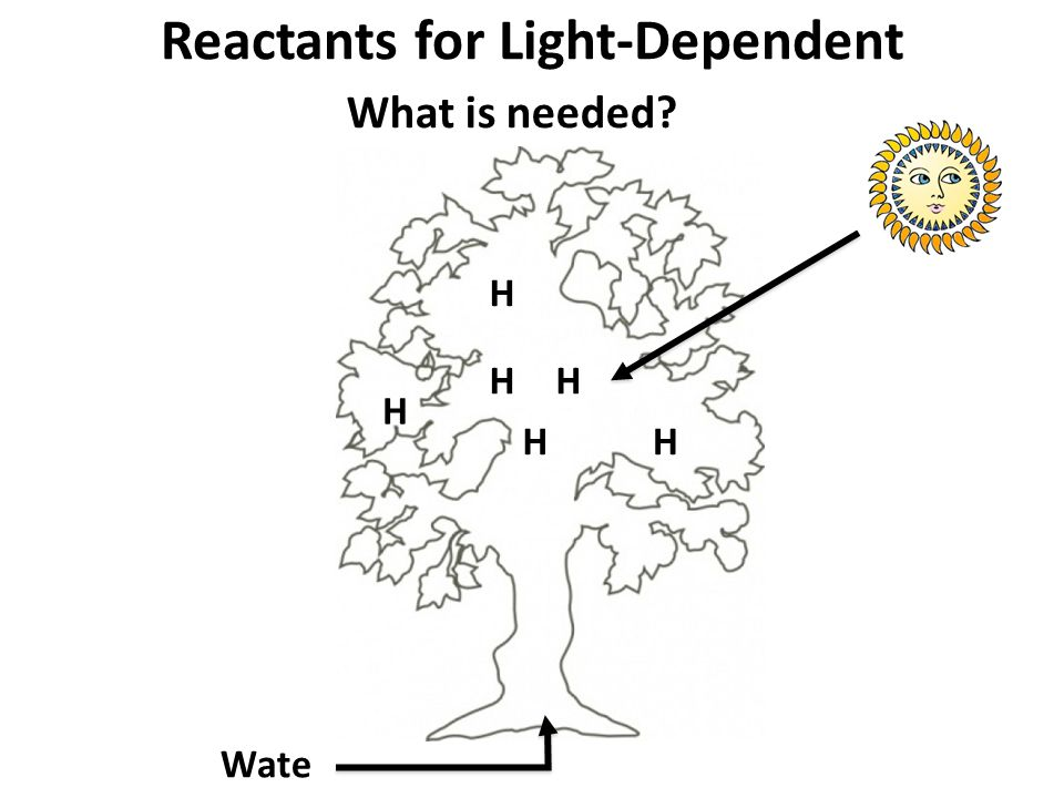 Reactants for Light-Dependent What is needed? Wate r H H H HH H