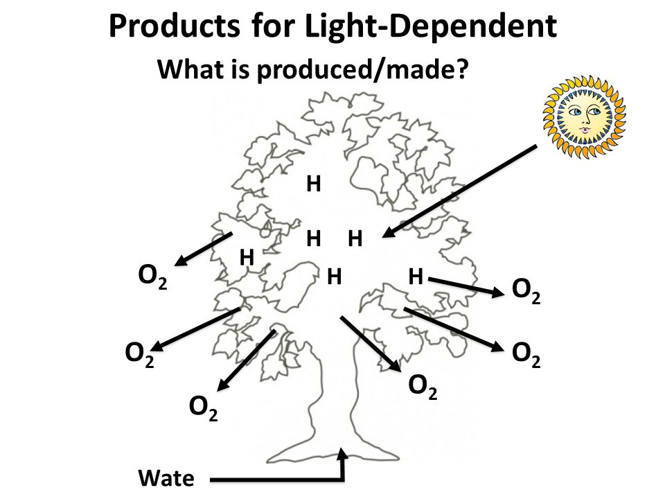 Products for Light-Dependent What is produced/made? Wate r H H H HH H O2O2 O2O2 O2O2 O2O2 O2O2 O2O2