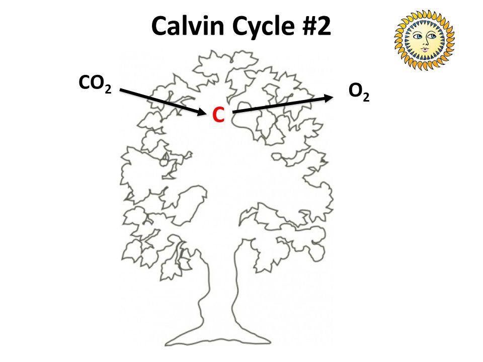Calvin Cycle #2 CO 2 O2O2 C