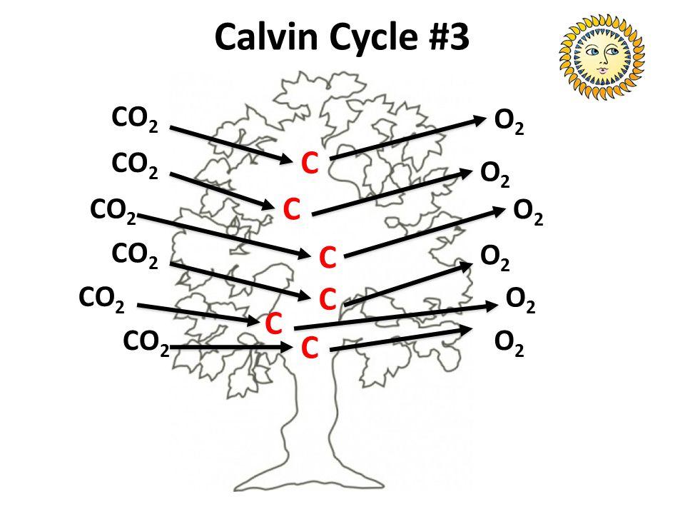 Calvin Cycle #3 CO 2 O2O2 C C C C C C O2O2 O2O2 O2O2 O2O2 O2O2