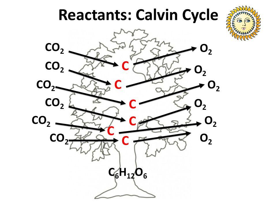 Reactants: Calvin Cycle CO 2 O2O2 C C C C C C O2O2 O2O2 O2O2 O2O2 O2O2 C 6 H 12 O 6