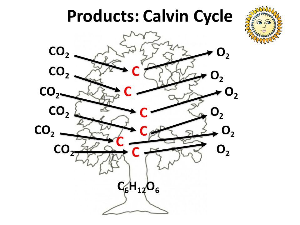 Products: Calvin Cycle CO 2 O2O2 C C C C C C O2O2 O2O2 O2O2 O2O2 O2O2 C 6 H 12 O 6