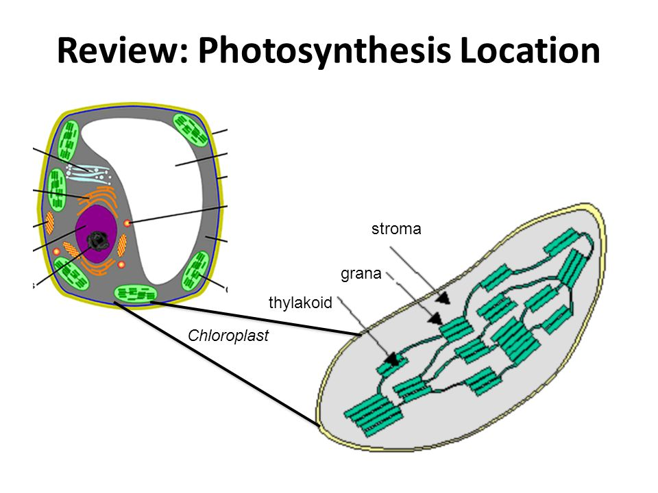Review: Photosynthesis Location stroma grana thylakoid Chloroplast