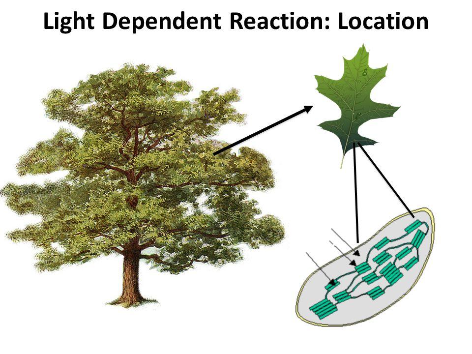 Light Dependent Reaction: Location