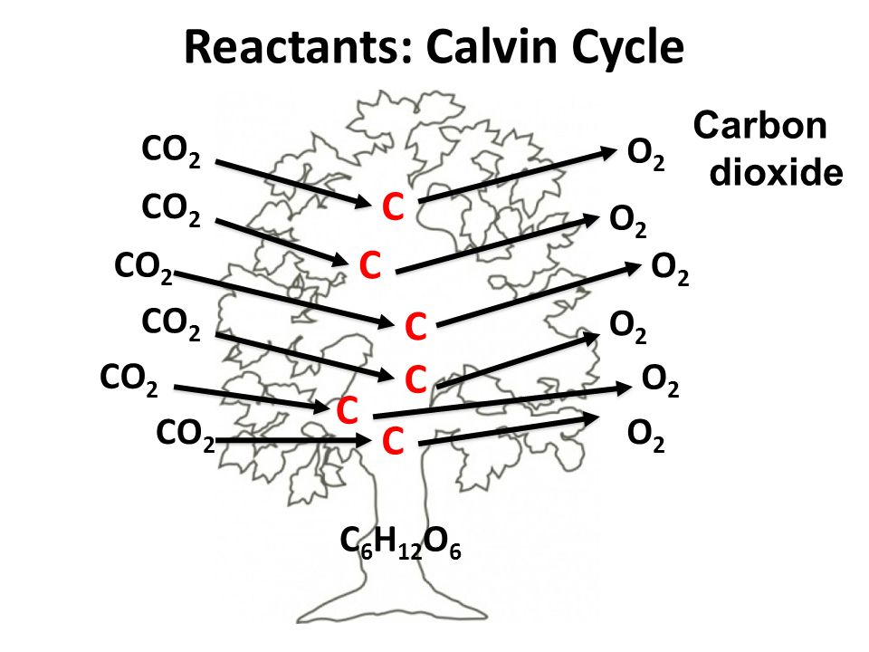 Reactants: Calvin Cycle CO 2 O2O2 C C C C C C O2O2 O2O2 O2O2 O2O2 O2O2 C 6 H 12 O 6 Carbon dioxide