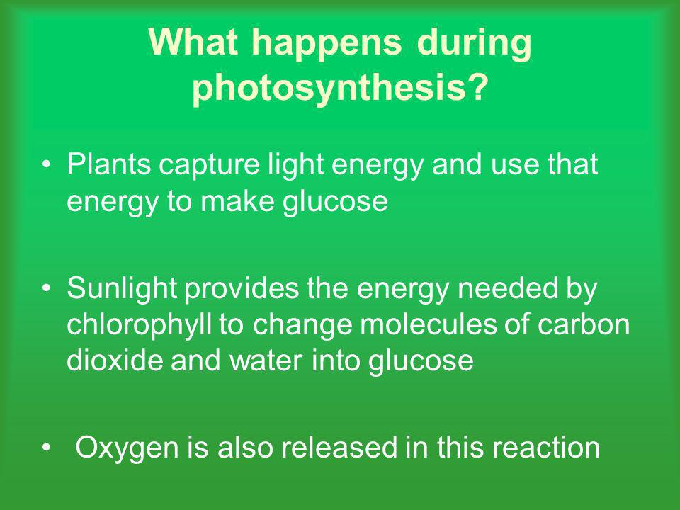 What happens during photosynthesis? Plants capture light energy and use that energy to make glucose Sunlight provides the energy needed by chlorophyll