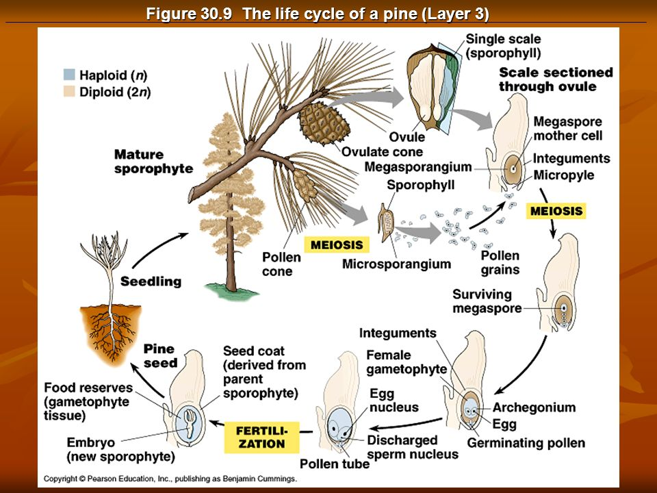 Figure 30.9 The life cycle of a pine (Layer 3)
