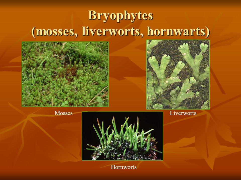 Bryophytes (mosses, liverworts, hornwarts) MossesLiverworts Hornworts
