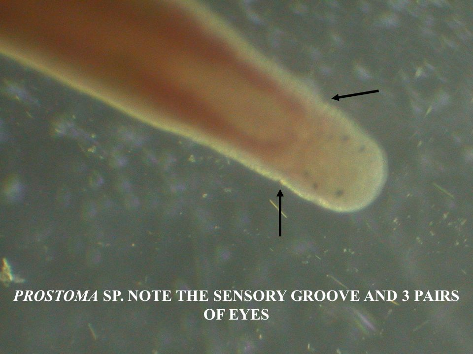 PROSTOMA SP. NOTE THE SENSORY GROOVE AND 3 PAIRS OF EYES