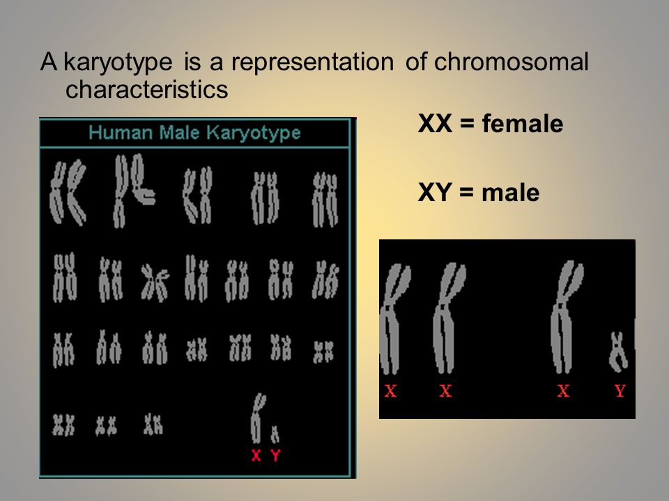 A karyotype is a representation of chromosomal characteristics XX = female XY = male