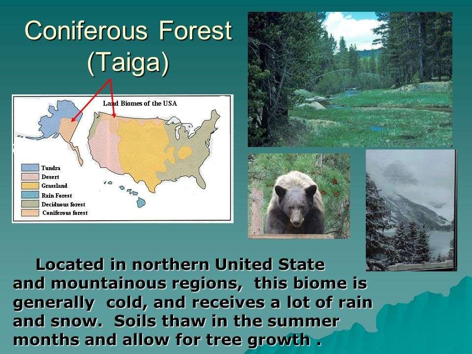 Coniferous Forest (Taiga) Located in northern United State and mountainous regions, this biome is generally cold, and receives a lot of rain and snow.