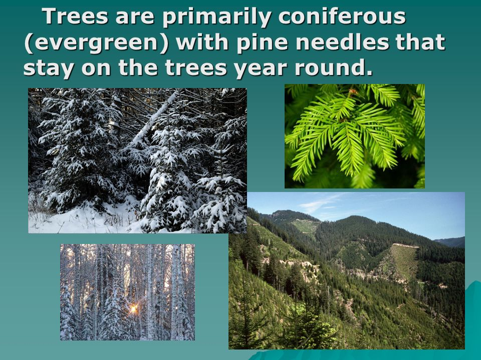 Trees are primarily coniferous (evergreen) with pine needles that stay on the trees year round. Trees are primarily coniferous (evergreen) with pine n