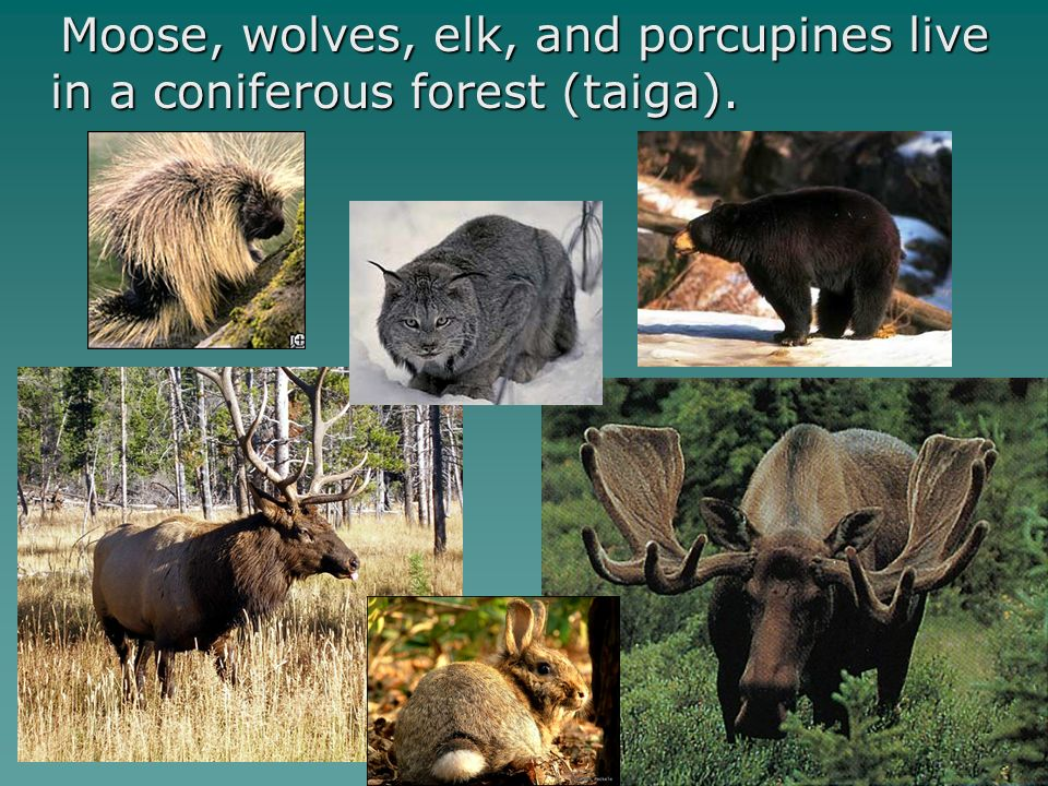 Moose, wolves, elk, and porcupines live in a coniferous forest (taiga). Moose, wolves, elk, and porcupines live in a coniferous forest (taiga).