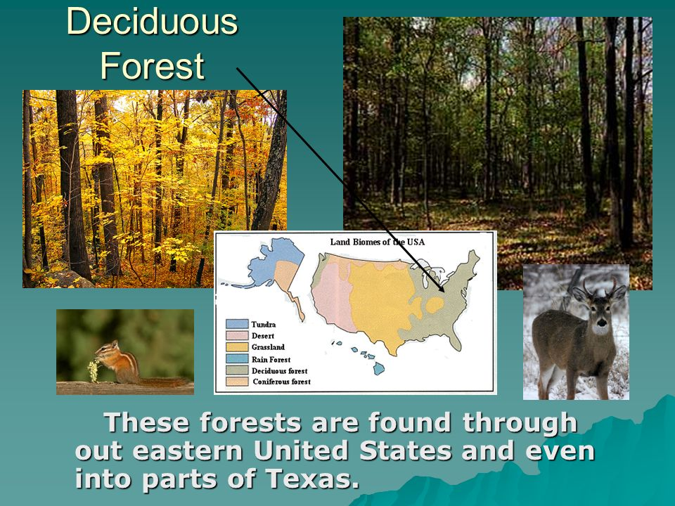 Deciduous Forest These forests are found through out eastern United States and even into parts of Texas. These forests are found through out eastern U