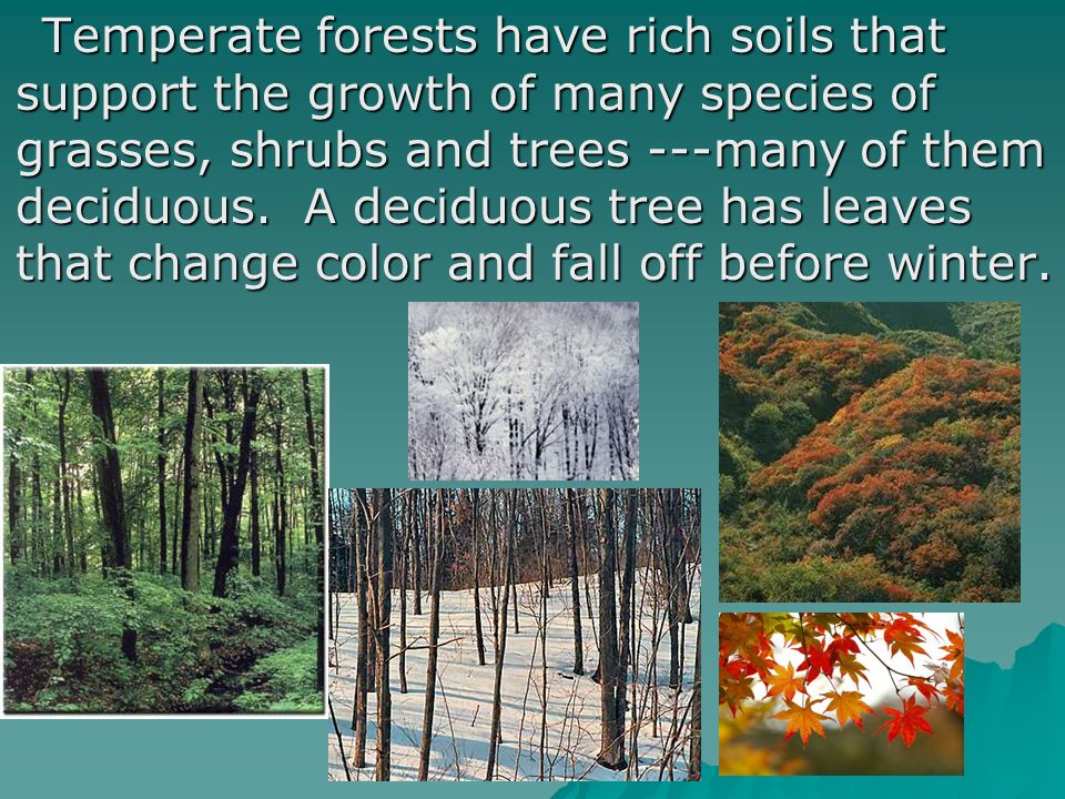 Temperate forests have rich soils that support the growth of many species of grasses, shrubs and trees ---many of them deciduous. A deciduous tree has