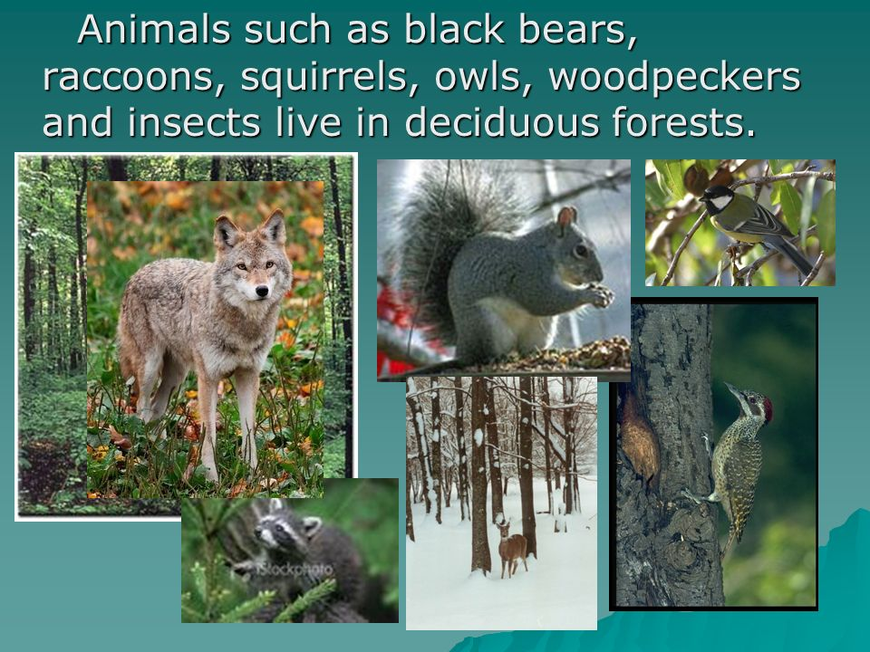 Animals such as black bears, raccoons, squirrels, owls, woodpeckers and insects live in deciduous forests. Animals such as black bears, raccoons, squi