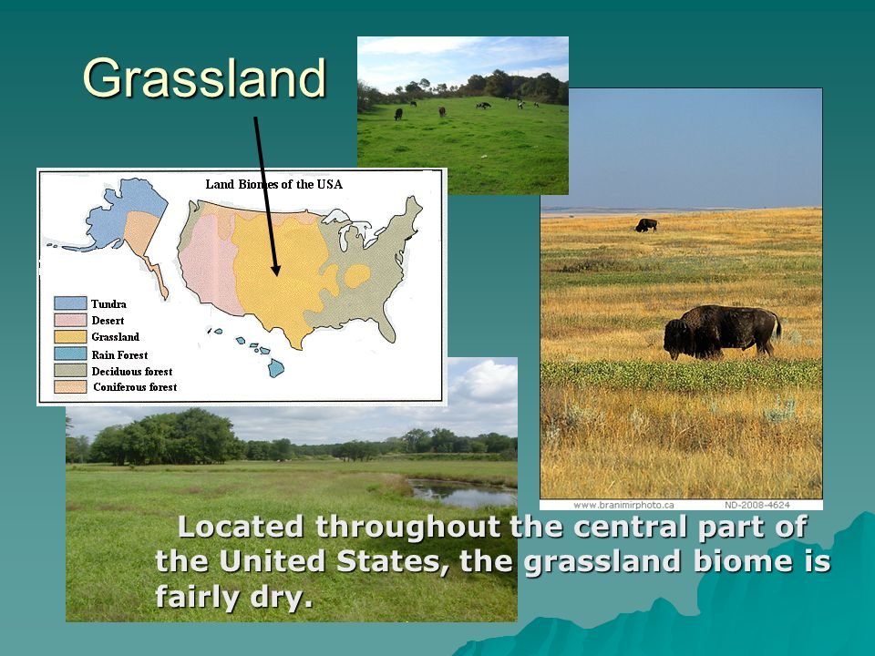 Grassland Grassland Located throughout the central part of the United States, the grassland biome is fairly dry. Located throughout the central part o