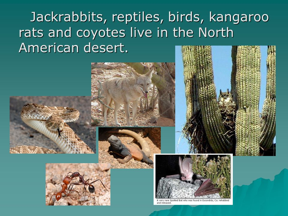 Jackrabbits, reptiles, birds, kangaroo rats and coyotes live in the North American desert. Jackrabbits, reptiles, birds, kangaroo rats and coyotes liv