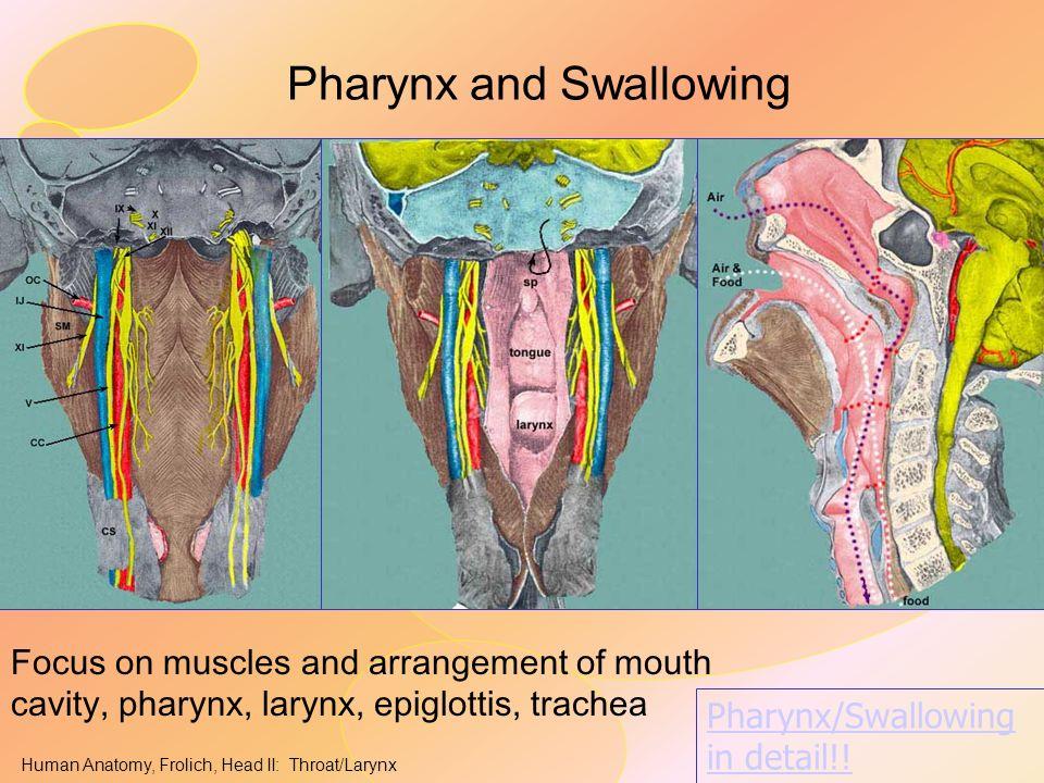 Human Anatomy, Frolich, Head II: Throat/Larynx Pharynx and Swallowing Focus on muscles and arrangement of mouth cavity, pharynx, larynx, epiglottis, t