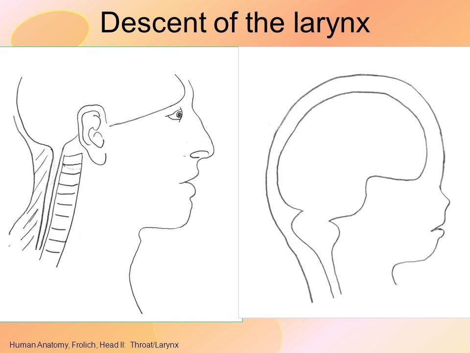 Human Anatomy, Frolich, Head II: Throat/Larynx Descent of the larynx