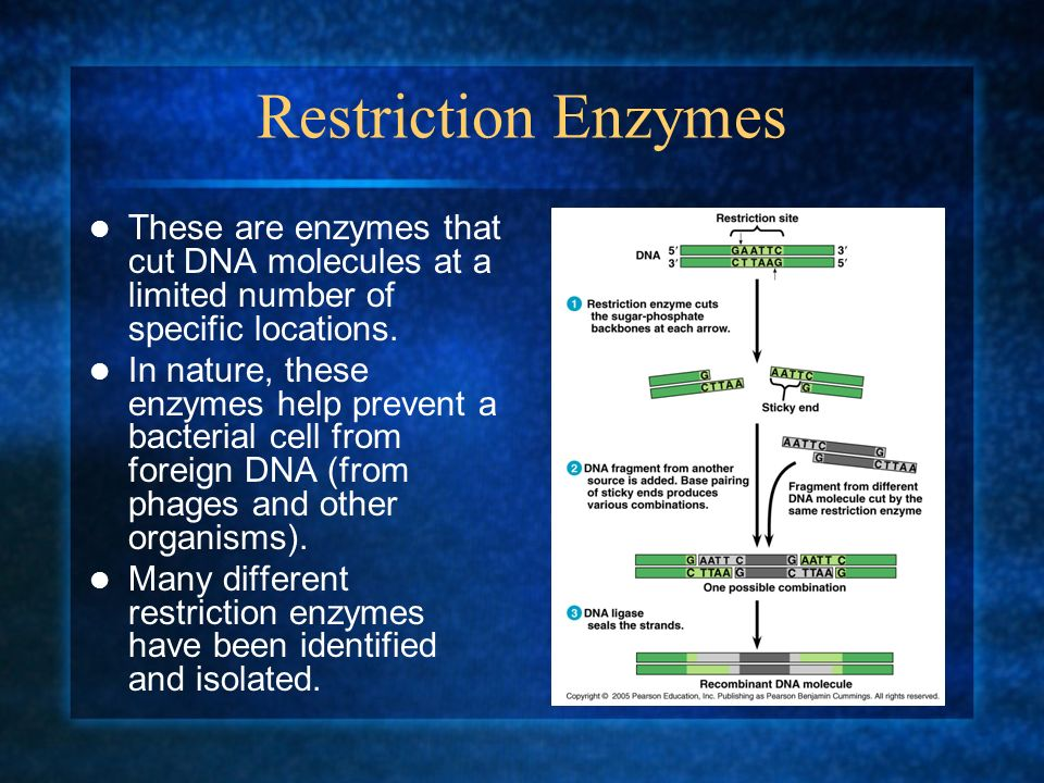 Restriction Enzymes These are enzymes that cut DNA molecules at a limited number of specific locations. In nature, these enzymes help prevent a bacter