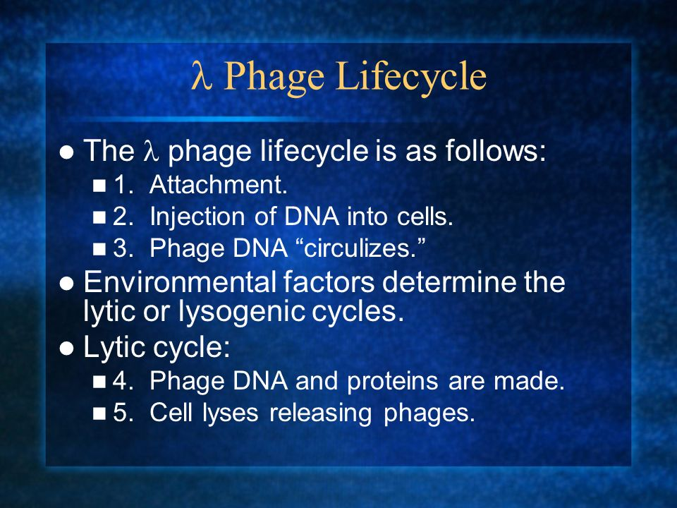 Phage Lifecycle The phage lifecycle is as follows: 1. Attachment. 2. Injection of DNA into cells. 3. Phage DNA circulizes. Environmental factors deter
