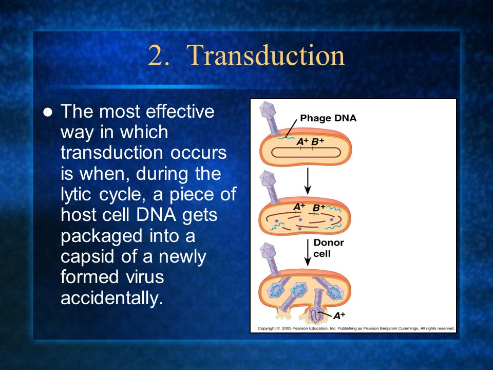 2. Transduction The most effective way in which transduction occurs is when, during the lytic cycle, a piece of host cell DNA gets packaged into a cap