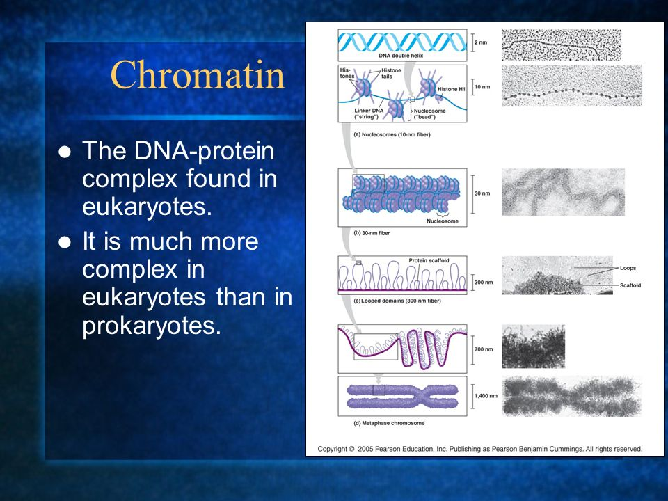 Chromatin The DNA-protein complex found in eukaryotes. It is much more complex in eukaryotes than in prokaryotes.