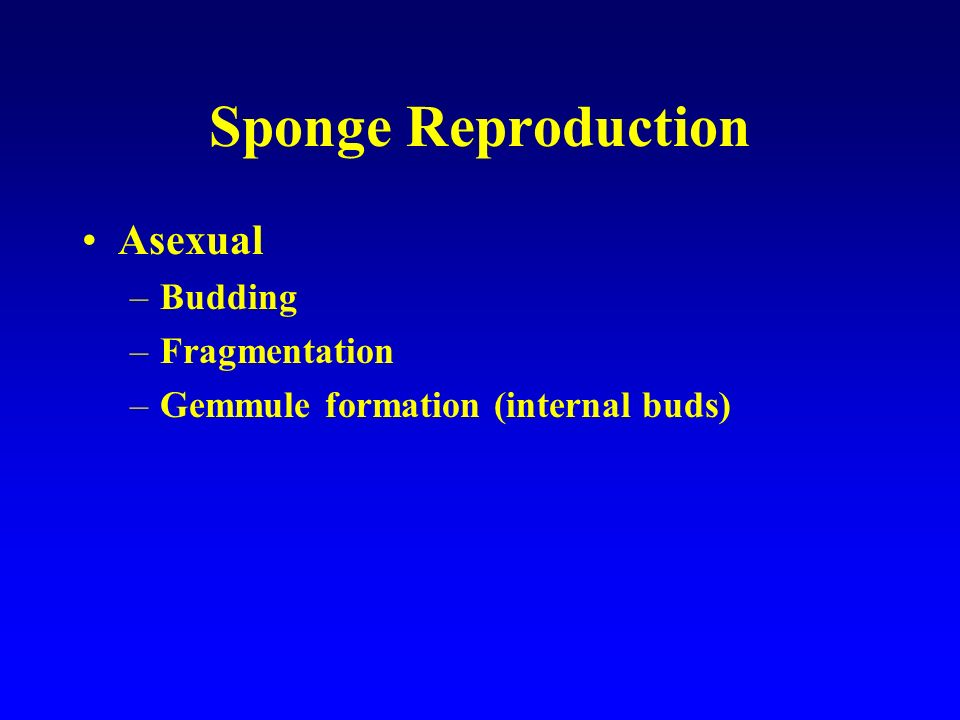 Sponge Reproduction Asexual –Budding –Fragmentation –Gemmule formation (internal buds)