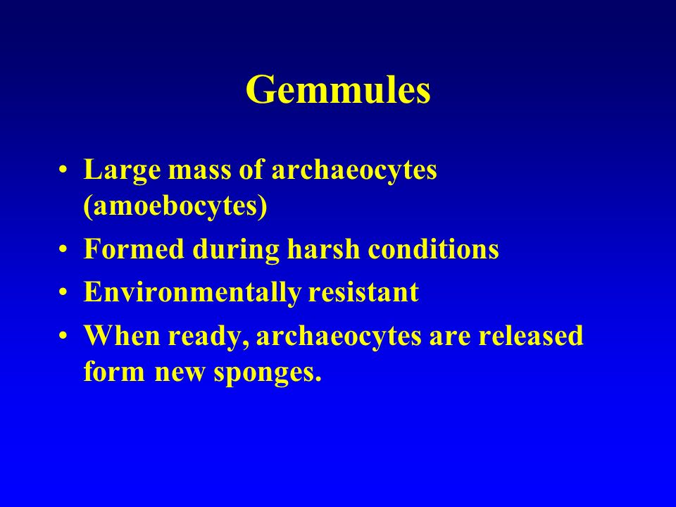 Gemmules Large mass of archaeocytes (amoebocytes) Formed during harsh conditions Environmentally resistant When ready, archaeocytes are released form
