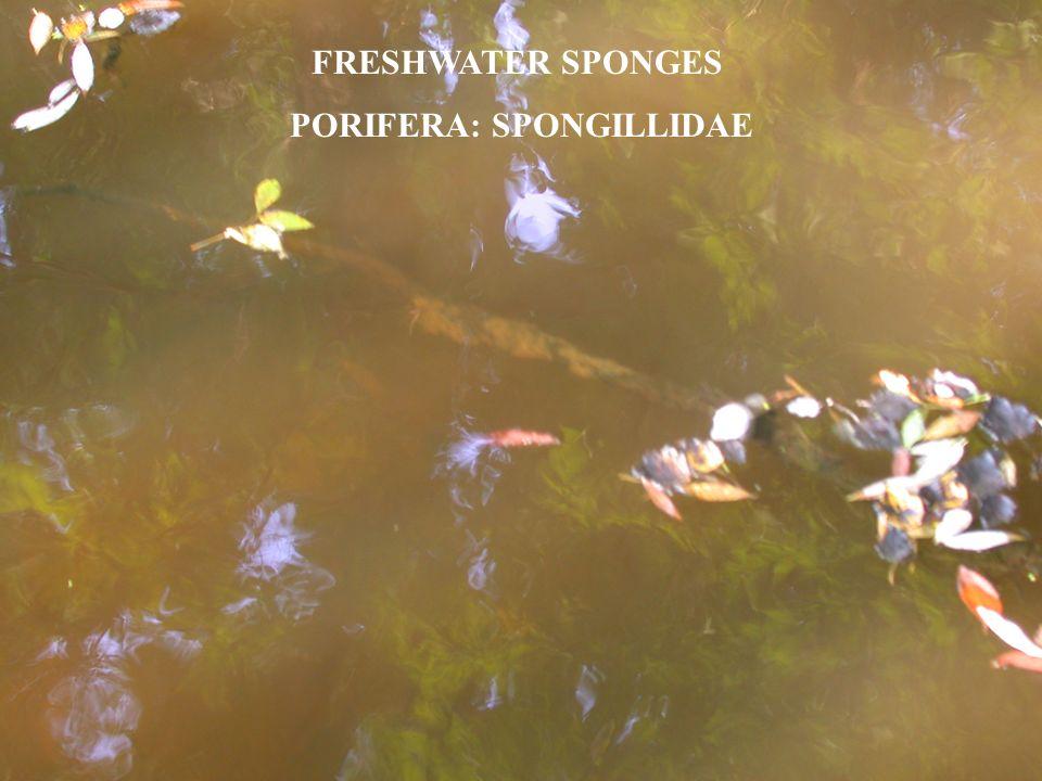 FRESHWATER SPONGES PORIFERA: SPONGILLIDAE