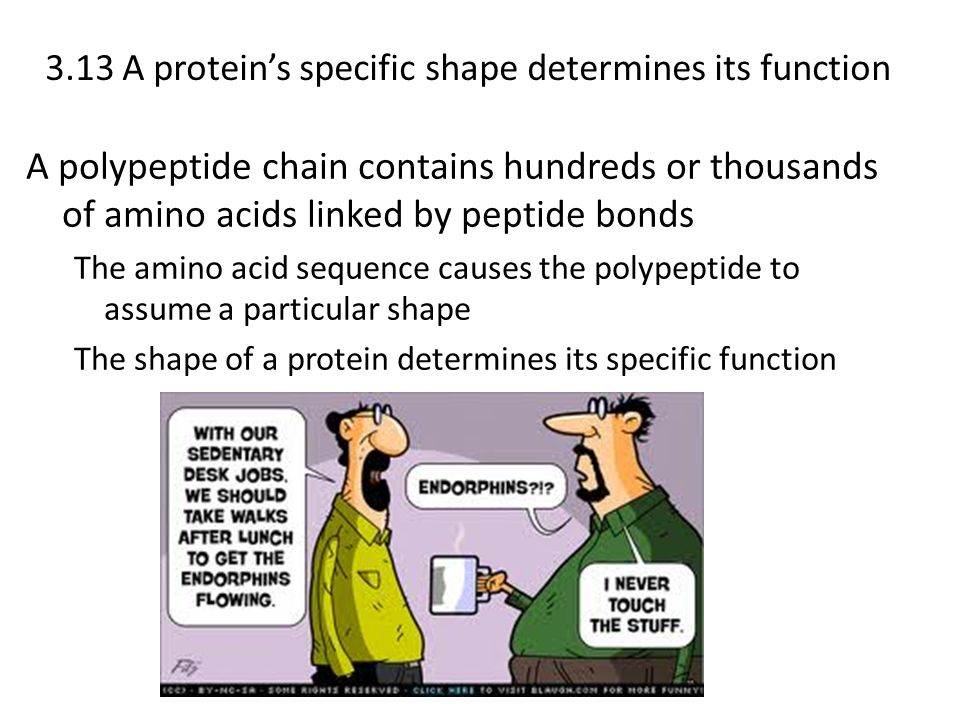 3.13 A proteins specific shape determines its function A polypeptide chain contains hundreds or thousands of amino acids linked by peptide bonds The a