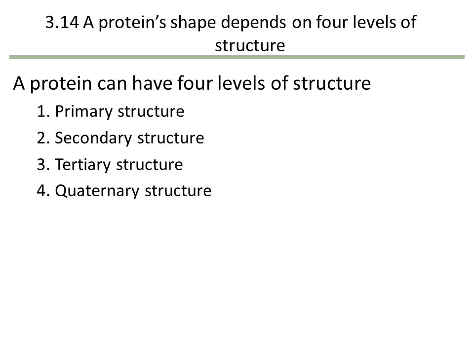 3.14 A proteins shape depends on four levels of structure A protein can have four levels of structure 1. Primary structure 2. Secondary structure 3. T