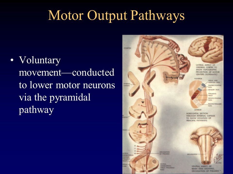 Motor Output Pathways Voluntary movementconducted to lower motor neurons via the pyramidal pathway