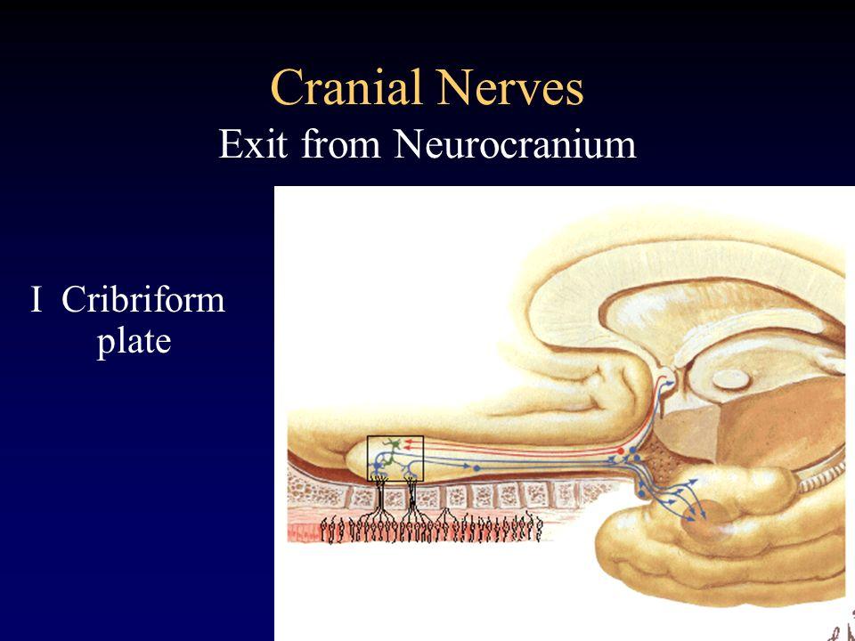 Cranial Nerves Exit from Neurocranium I Cribriform plate