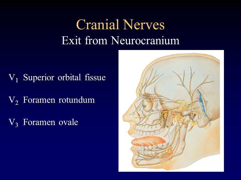 Cranial Nerves Exit from Neurocranium V 1 Superior orbital fissue V 2 Foramen rotundum V 3 Foramen ovale