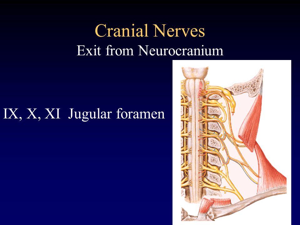 Cranial Nerves Exit from Neurocranium IX, X, XI Jugular foramen