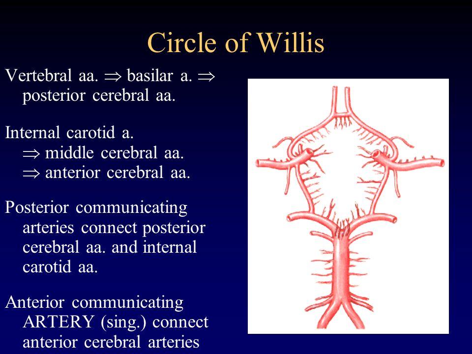 Circle of Willis Vertebral aa. basilar a. posterior cerebral aa. Internal carotid a. middle cerebral aa. anterior cerebral aa. Posterior communicating