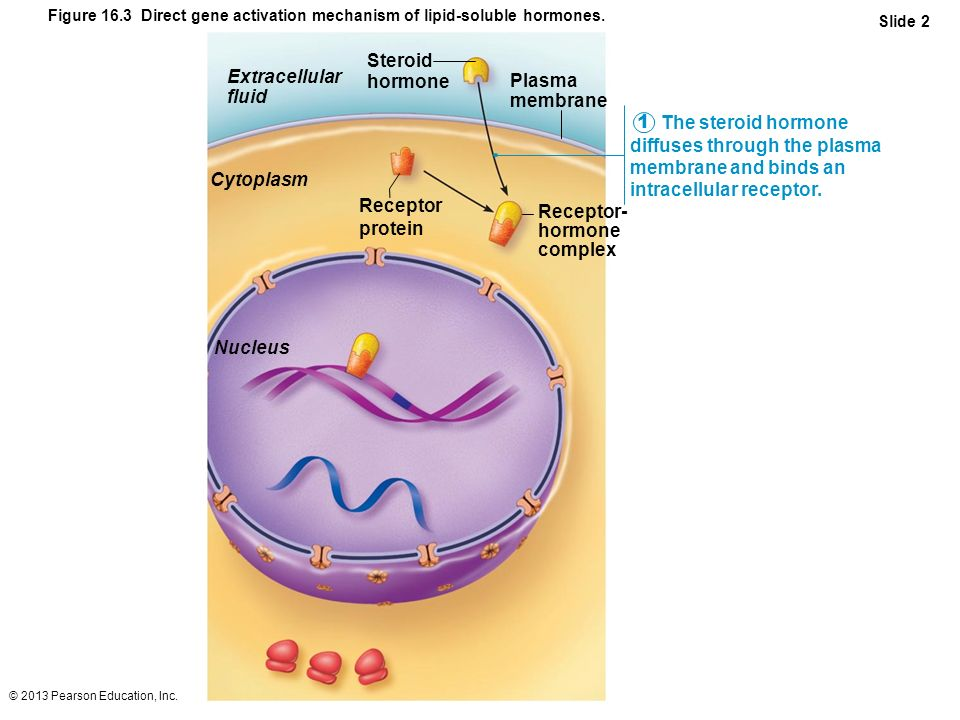 © 2013 Pearson Education, Inc. Figure 16.3 Direct gene activation mechanism of lipid-soluble hormones. Slide 2 The steroid hormone diffuses through th