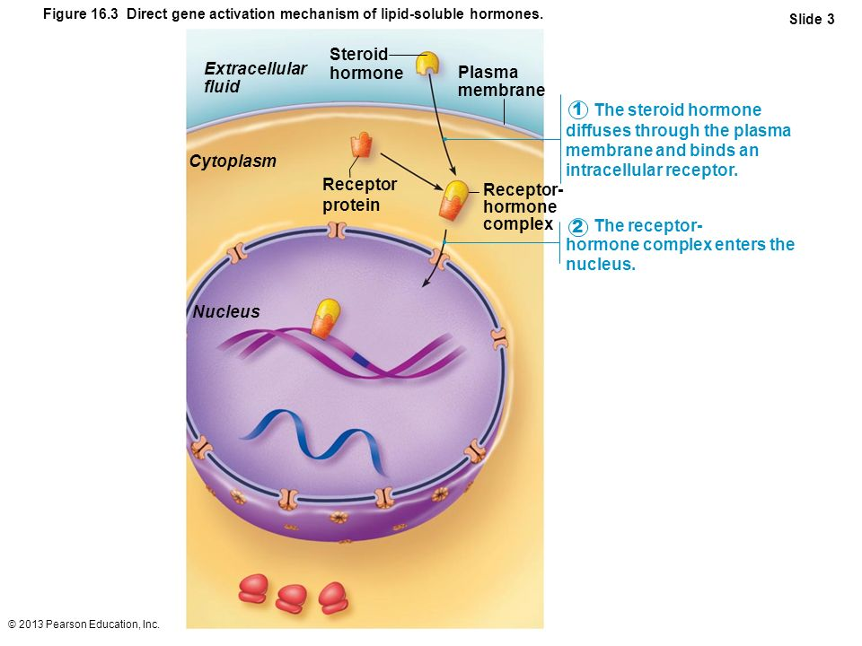 © 2013 Pearson Education, Inc. Figure 16.3 Direct gene activation mechanism of lipid-soluble hormones. Slide 3 The steroid hormone diffuses through th